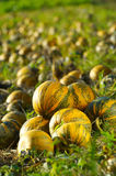 Pumpkins are ready for harvest. Group of pumpkins on a field in northeastern Slovenia Royalty Free Stock Photo