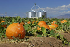 Pumpkins ready for harvest Stock Image