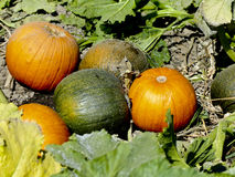 Pumpkins Ready to Pick Royalty Free Stock Photography