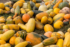 Pumpkins are ripe Stock Image