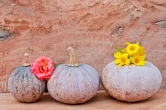 Pumpkins and rose. Rustic autumn still life with mini pumpkins and rose on old wood in background. Macro with shallow dof Royalty Free Stock Image
