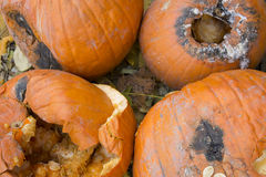 Pumpkins rotting at a Halloween sale Royalty Free Stock Images