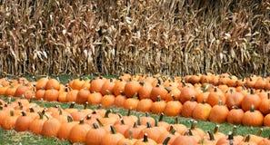 pumpkins row Arkivbild