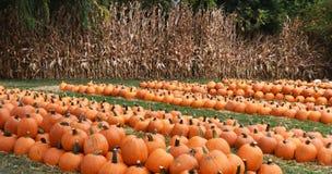 pumpkins row Royaltyfria Bilder