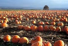 pumpkins row Стоковые Изображения