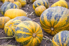 Pumpkins in a row on the field Royalty Free Stock Photos