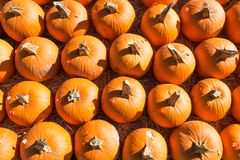 Pumpkins in Rows for Sale in a Pumpkin Patch. Rows of pumpkins ready for sale at a pumpkin patch in autumn Stock Image