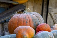 Pumpkins rural territory, background stock photo