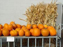 Pumpkins on sale. Ripe fresh pumpkins with corn in the background Royalty Free Stock Image