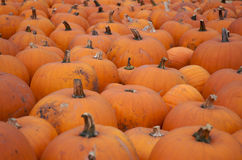 Pumpkins for sale. Pumpkins in a patch: october Stock Images