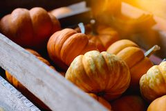 Pumpkins for sale. American farm and barns at autumn in Illinois. Royalty Free Stock Photography