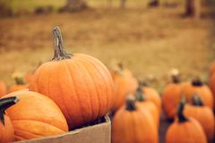 Pumpkins for sale in autumn. Pumpkins for sale at a pumpkin patch in autumn Stock Photos
