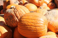 Pumpkins for Sale. Freshly cut ripe pumpkins from the garden patch, ready for sale Stock Image