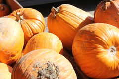 Pumpkins for Sale. Freshly cut ripe pumpkins from the garden patch, ready for sale Stock Photo