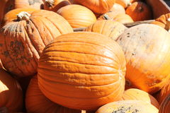 Pumpkins for Sale. Freshly cut ripe pumpkins from the garden patch, ready for sale Royalty Free Stock Photo