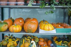 Pumpkins on sale. Pumpkins on a grocery shelves stock photography