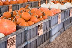 Pumpkins for sale. Large wooden crates of pumpkins for sale at a fall market before Halloween Royalty Free Stock Images