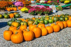 Pumpkins for Sale in a Market. Pumpkins on Sale in a  Farmer`s Market on a Sunny Autumn Day. Chrysanthemum Flowersare Visible ib Background Royalty Free Stock Photo