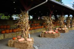Pumpkins sale for Thanksgiving day. Upstate New York at the farm Royalty Free Stock Image
