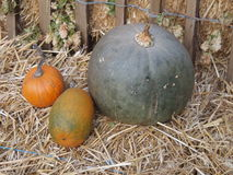 Pumpkins. A season specific vegetable Royalty Free Stock Photos