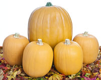 Pumpkins Sitting on Colorful Fall Leaves. Large and Small Pumpkins Sitting on Colorful Fall Leaves Royalty Free Stock Photos