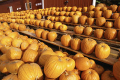 Pumpkins sitting in rows Stock Image