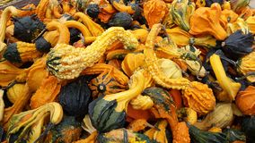 Pumpkins. Small pumpkins, farm in Mississauga, Ontario, Canada Stock Image