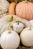 Pumpkins squash and gourds. Images of pumpkins, squash and gourds on farms during the fall harvest season royalty free stock images