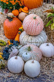 Pumpkins squash and gourds. Images of pumpkins, squash and gourds on farms during the fall harvest season stock images