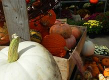 Pumpkins and squash in market. Display of fall pumpkins, squash and chrysanthemums in farmers market stock images