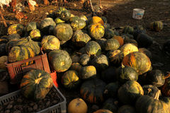 Pumpkins. Stack of ripe pumpkins in the farm Royalty Free Stock Image