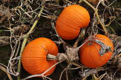 Pumpkins. Stack of ripe pumpkins in the farm Stock Images