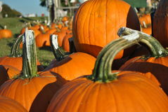 Pumpkins with stems Royalty Free Stock Photo