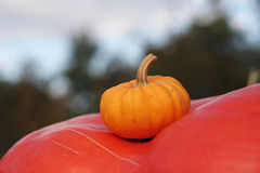 Pumpkins still-life with natural background Royalty Free Stock Photos