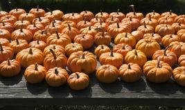 Pumpkins in the sun Stock Photos