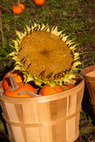 Pumpkins & Sunflower Head. Pumpkins in a bin with a huge sunflower head selling for its seeds from Fall harvest Stock Image