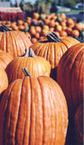 Pumpkins In Sunshine scan02. Pumpkins for sale piled up and waiting in bright Colorado sunshine Stock Image
