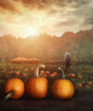 Pumpkins on table in farmer's field Stock Image