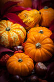 Pumpkins and Thanksgiving Royalty Free Stock Photos