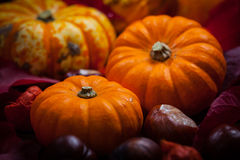 Pumpkins and Thanksgiving Royalty Free Stock Photography
