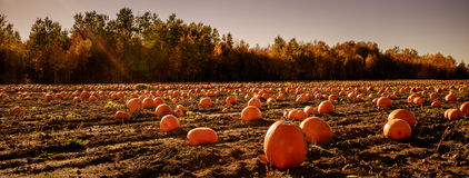 Pumpkins under a blazing sun Royalty Free Stock Images
