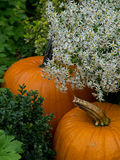 Pumpkins under Flowers Royalty Free Stock Photo
