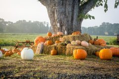 Pumpkins Under the Tree Royalty Free Stock Images