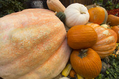 Pumpkins. A variety of pumpkins and gourds from Fall harvest Royalty Free Stock Photos