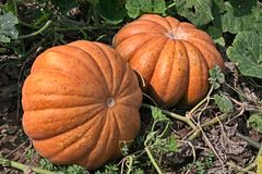 Pumpkins in vegetable garden Royalty Free Stock Images