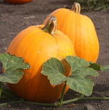 Pumpkins on the Vine Royalty Free Stock Images