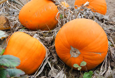 Pumpkins on the Vine Royalty Free Stock Photos
