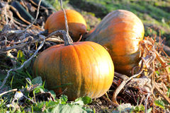 Pumpkins on the Vine Royalty Free Stock Image