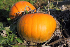 Pumpkins on the Vine Royalty Free Stock Photo