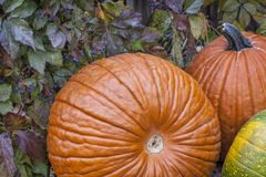 Pumpkins and vine Stock Image